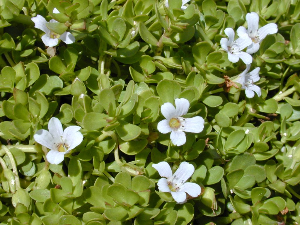 Bacopa monnieri flowers and leaves from wikimedia commons