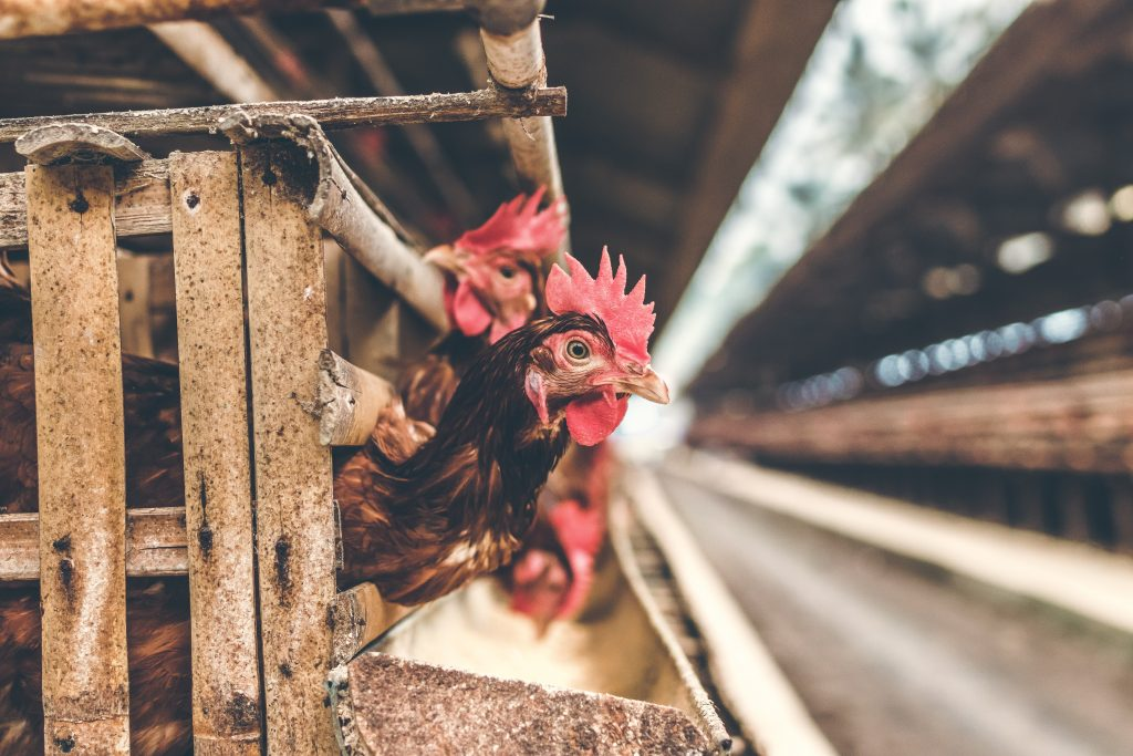 collagen often comes from factory farms